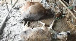 ধর্মপাশায় বজ্রপাতে ৩টি গরুর মৃত্যু