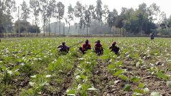 মানিকগঞ্জে আগাম সবজি চাষে ব্যস্ত কৃষকরা