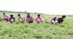 চাঁপাইনবাবগঞ্জে ধনেপাতা চাষ দিন দিন বৃদ্ধি পাচ্ছে