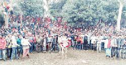 পৌষ সংক্রান্তিতে নবাবগঞ্জে গরুর রশি ছেঁড়া প্রতিযোগিতা