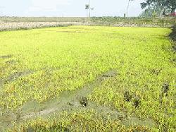 শীতজনিত কারণে বোরো ধানের বীজতলায় মড়ক : কৃষকেরা হতাশ