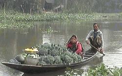 গোপালগঞ্জে ব্রোকলি চাষের উজ্জল সম্ভাবনা