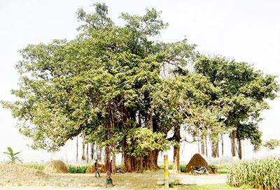কালের সাক্ষী হয়ে দাঁড়িয়ে আছে আত্রাইয়ের ঐতিহাসিক শতবর্ষী কদমতলার বটগাছটি